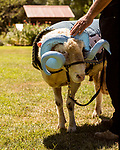 July 31, 2017. Chapel Hill, North Carolina.<br /> <br /> Don Basnight pets Rameses the Ram. <br /> <br /> Basnight is one of the members of the Hogan family who have long been the caretakers of Rameses the Ram. The current Rameses is the 21st in the line of the University of North Carolina's live mascot.