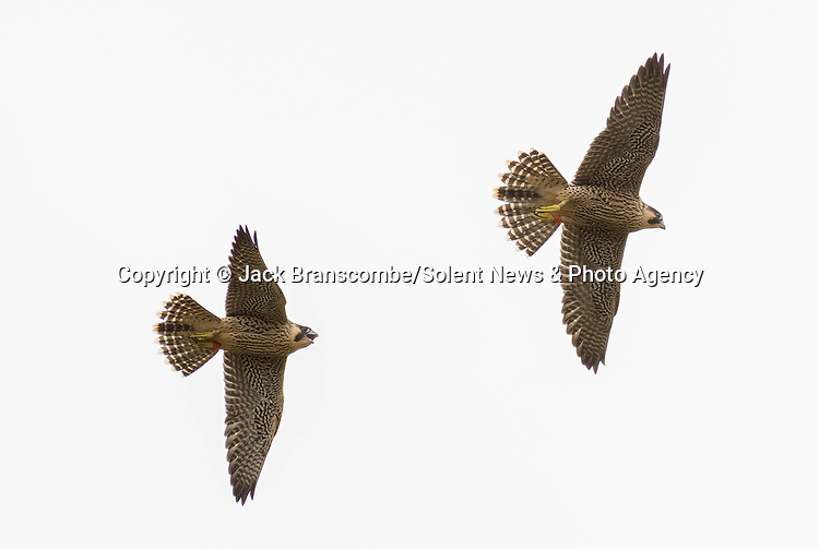 Pictured:  The young falcons battling in the air near the cathedral.<br /> <br /> A pair of young peregrine falcons come to blows in an aerial battle just months after they hatched at an ancient cathedral.  The newly fledged chicks, with their sharp talons outstretched, play fight in mid-air as they practice their hunting skills.<br /> <br /> The juveniles were born earlier this summer along with three other chicks, which is thought to be a record for the species.  Amateur photographer Jack Branscombe pictured the tussling pair at Winchester Cathedral, Hants, where peregrine falcons have been nesting for the last two years.  SEE OUR COPY FOR DETAILS.<br /> <br /> Please byline: Jack Branscombe/Solent News<br /> <br /> © Jack Branscombe/Solent News & Photo Agency<br /> UK +44 (0) 2380 458800