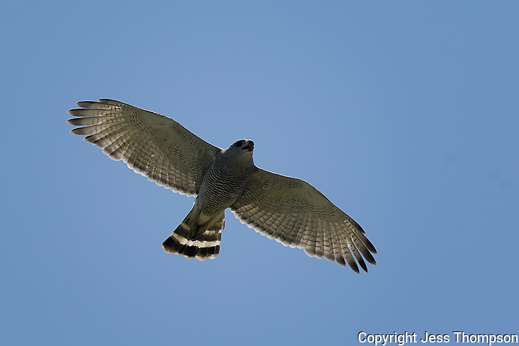 Gray Hawk in flight, Big Bend National Park