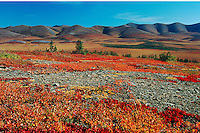 Landscape with fall colored Bearberry (Arctostaphylos sp.), Denali Highway, Alaska, USA