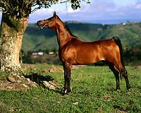 Fazenda de cavalo Árabe.<br /> <br /> Cavalo Árabe JALUIA.<br /> <br /> O cavalo da raça Árabe é rapidamente identificado pela cabeça delicada, com seu perfil côncavo, olhos expressivos, orelhas pequenas e focinho curto.<br /> <br /> Igualmente, outra característica marcante é formado do pescoço e o seu porte: sinuoso e arqueado, chamado de cisne, e o cavalo o torna mais expressivo, elevando a cabeça.