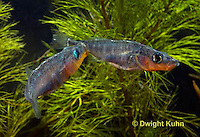 1S17-511z  Male Threespine Sticklebacks defending territories, Mating colors showing bright red belly and blue eyes,  Gasterosteus aculeatus,  Hotel Lake British Columbia