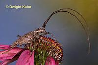 1C38-554z  Male Northeastern Pine Sawyer Beetle, Monochamus notatus