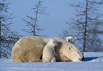 Polar bear and her cubs, Canada