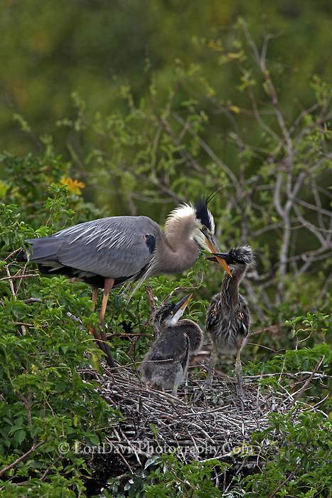Great Blue Heron Feeding Chicks in Nest  #H6