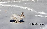 MA19-552z  Snowshoe Hare running on snow,  Lepus americanus