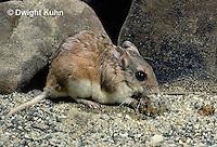 MU32-048z  Northern Grasshopper Mouse - Onychomys leucogaster