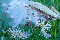Siskiyou aster and showy milkweed seedpod<br /> Delores River Canyon below McPhee Dam<br /> Forest Road 504,  San Juan National Forest<br /> Colorado Plateau,  Colorado