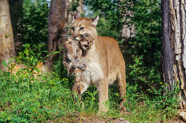 Mountain lion, cougar, or puma (Felis concolor) mother carrying young cub who had strayed to far from the den area, Western U.S.
