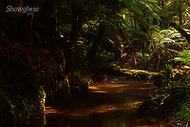 Image Ref: YR175<br /> Location: Wirrawilla Rainforest, Toolangi<br /> Date: 27.01.18