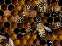 Honeybees nurses on pollen cells