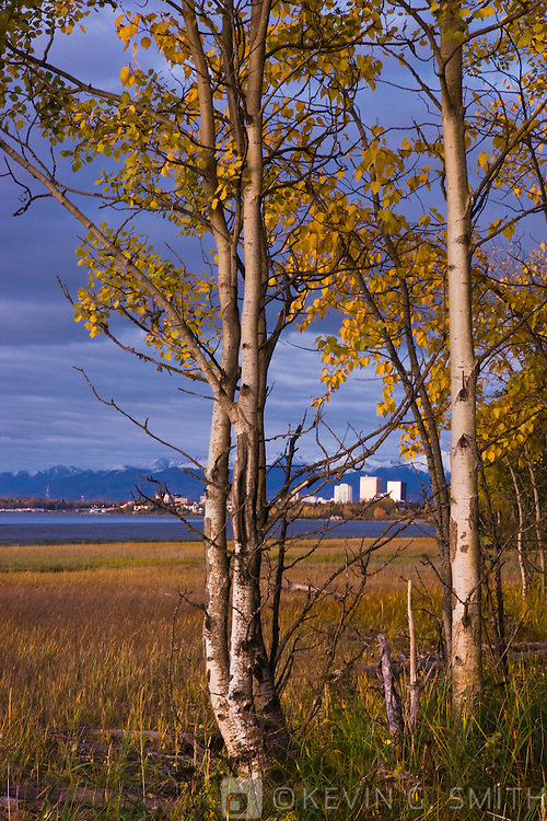 The Anchorage City Skyline and coastal mudflats seen through a stand of Aspen trees along the Tony Knowles Coastal Trail, sunset light, fall foliage, fresh snow on the Chugach mountains in the background, Anchorage, Southcentral Alaska, USA.
