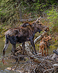 Yellowstone National Park, WY: Cow Moose and two calves (Alces alces)