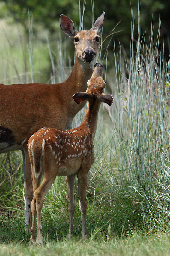 Whitetail interaction in Summer.