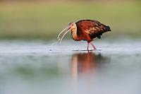 White-faced Ibis (Plegadis chihi), adult eating, Dinero, Lake Corpus Christi, South Texas, USA