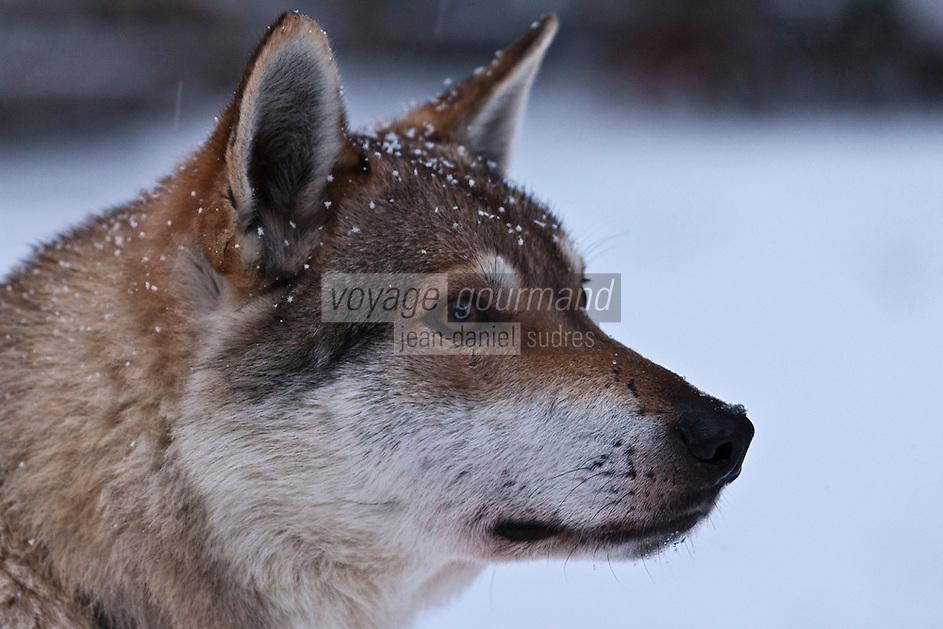 Europe/Finlande/Laponie/Kongäss: Chien de traineau: Husky, au Levi - Husky Park