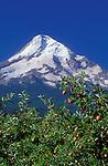 Apples on tree with peak of Mount Hood behind; .Mt. Hood Organic Farms, Hood River Valley, Oregon.  .#2370-1815