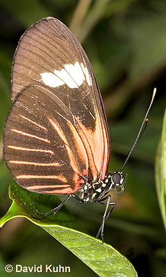 """0101-0912  """"Female"""" Small Postman Butterfly (Red Postman Butterfly), Heliconitius erato, South and Central America © David Kuhn/Dwight Kuhn Photography"""