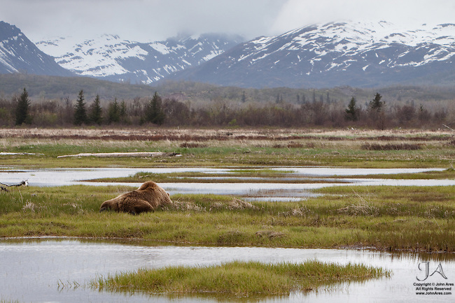 Adult Grizzly bear taking an afternoon nap in Katmai National Park, Alaska