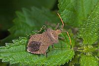 Lederwanze, Saumwanze, Leder-Wanze, Saum-Wanze, Coreus marginatus, Mesocerus marginatus, squash bug, Randwanzen, Lederwanzen, Coreidae, leaf-footed bugs