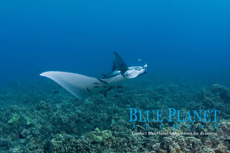 reef manta ray, Mobula alfredi, being cleaned by Hawaiian saddle wrasses, Thalassoma duperrey, and Hawaiian cleaner wrasses, Labroides phthirophagus (both endemic species) at cleaning station on coral reef, Ukumehame, West Maui, Hawaii (Central Pacific Ocean)