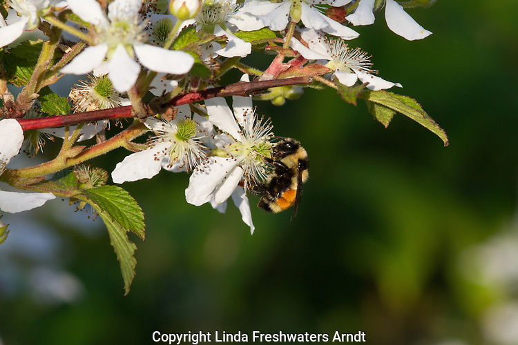 Tricolored bumble and blackberry bush