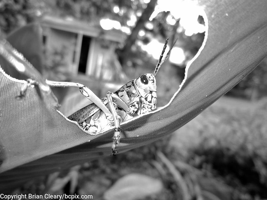 A Southeastern Lubber Grasshopper muches on a leaf in Holly Hill, FL. Black and White. (Photo by Brian Cleary/www.bcpix.com)