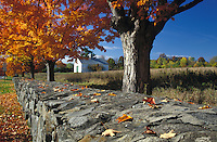 Stone wall and maple trees.