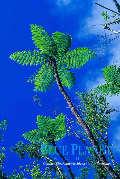 giant tree ferns, Mt. Scenery, Saba Island, Netherlands Antilles, (Eastern Caribbean Sea, Atlantic), Atlantic