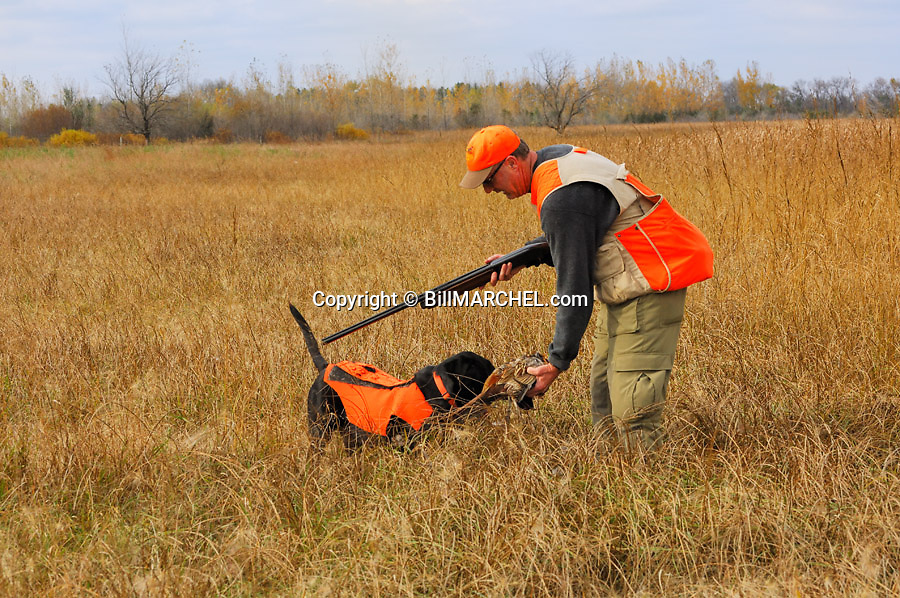 00890-036.20 Ring-necked Pheasant hunter is taking a bagged rooster from a black Lab following a retrieve.  Hunt, dog, vest.