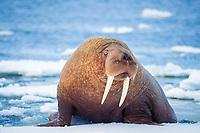 walrus, Odobenus rosmarus, on the pack ice of the Bering sea of Alaska, Arctic