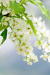 Deutschland, Bayern, Oberbayern: Blueten der Traubenkirsche - Prunus padus | Germany, Upper Bavaria: petals of Prunus padus, known as Bird Cherry or Hackberry