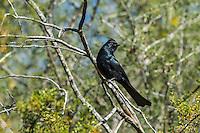 Male Phainopepla or northern phainopepla (Phainopepla nitens).  Arizona.  Spring.