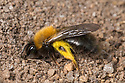 Mining Bee {Andrena clarkella} excavating nest in sandy soil. Note the pollen hairs coated in yellow pollen from Goat willow (Salix caprea), an important food source for pollinators in early spring.Peak District National Park, Derbyshire , UK. April.