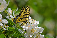 Western Tiger Swallowtail (Papilio rutulus) nectaring ong mock-orange blossoms.  Pacific Northwest.