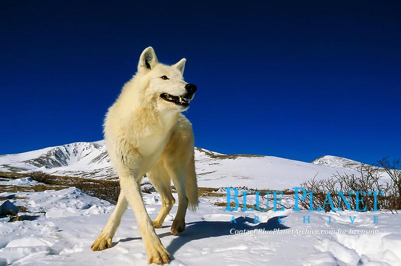 Alaskan tundra wolf, barren-ground wolf, Canis lupus tundrarum, a subspecies of gray wolf, grey wolf, adult, standing on snow, Alaska, USA