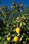 Spain, Costa Blanca, bei El Castell de Guadalest: Lemons on tree   Spanien, Costa Blanca, bei El Castell de Guadalest: Zitronenbaum
