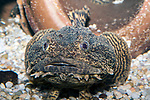 oyster toadfish looking at camera full body view