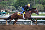 October 26, 2014: Majestic Harbor works in preparation for the Breeders' Cup Classic at Santa Anita Park in Arcadia, California on October 26, 2014. Zoe Metz/ESW/CSM