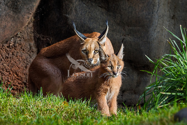 """Caracal (Caracal caracal) mom with young kitten.  The word """"Caracal"""" comes from the Turkish word """"karakulak"""" which means """"black ear.""""  Caracals are found in Africa through Central Asia and India."""