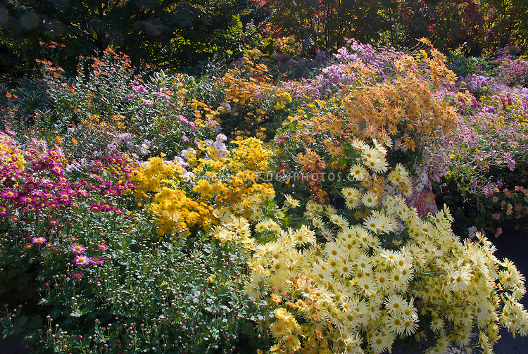 Mix of Chrysanthemums in autumn fall, yellow, pink, orange, NYBG