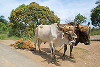 Two bulls tracking a plough back from the fields, Vinales, Pinar Del Rio Province, Cuba.