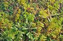Red-stemmed Feather-moss {Pleurozium schreberi} and Common Tamarisk-moss {Thuidium tamariscinum} growing together in mound. Lake District National Park, Cumbria, UK. February.