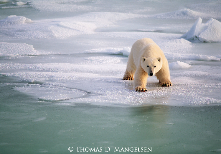 A polar bear cub tests the ice as it walks towards the edge.<br /> Wapusk National Park, Manitoba, Canada