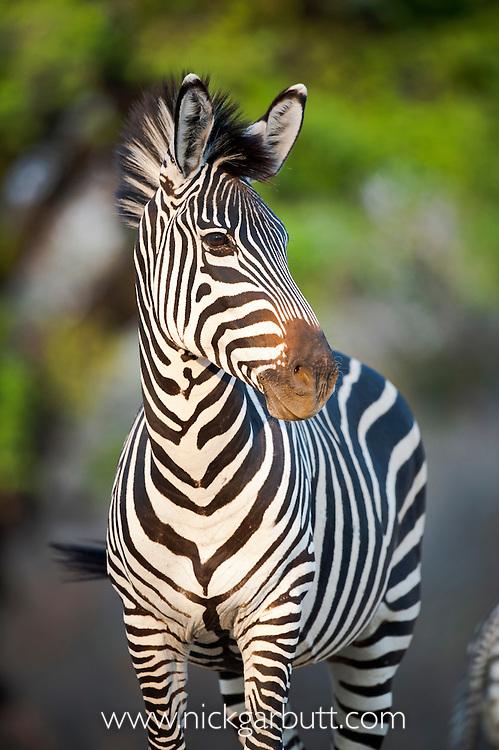 Crawshay's Zebra (Equus quagga crawshayi) -subspecies of Plains Zebra. On the banks of the Luangwa River. South Luangwa National Park, Zambia.