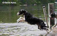 0808-0807  English Springer Spaniel Jumping off Dock into Water, Canis lupus familiaris © David Kuhn/Dwight Kuhn Photography.