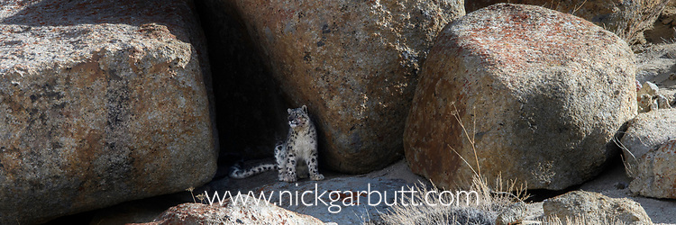 Wild snow leopard (Panthera uncia)(sometimes Uncia uncia) sitting at the entrance to a shady rocky cave where it had been resting. Ladakh Range, Western Himalayas, Ladakh, India.