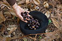 Europe/France/Aquitaine/40/Landes/Escalans:Avec Jean Barrère à  sa Palombière de la Ganaderia de Buros ,ramassage des  châtaignes qui seront cuites avec des feuilles de figuier lors du repas des chasseurs
