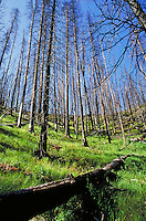 burned forest of Yellowstone Park. Charcoal, forest, tree, dead, new, log, grass, green. Wyoming USA Yellowstone National Park.