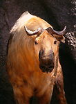 Sichuan Takin, indigenous to sub-alpine Western China.